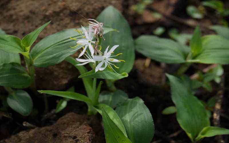 सफेद मूसली पौधा