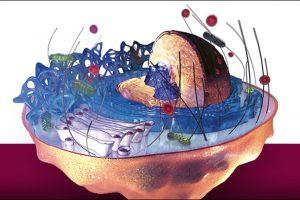 मानव कोशिका चित्र