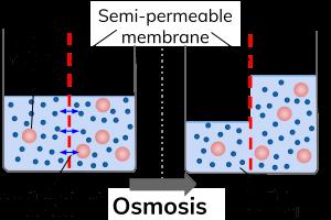 परासरण osmosis in hindi