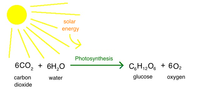 photosynthesis diagram in hindi