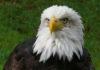 बाज पक्षी के बारे में जानकारी facts about eagle in hindi