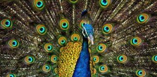 मोर के बारे में जानकारी about peacock in hindi