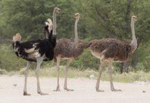 शुतुरमुर्ग के बारे में जानकारी facts about ostrich in hindi