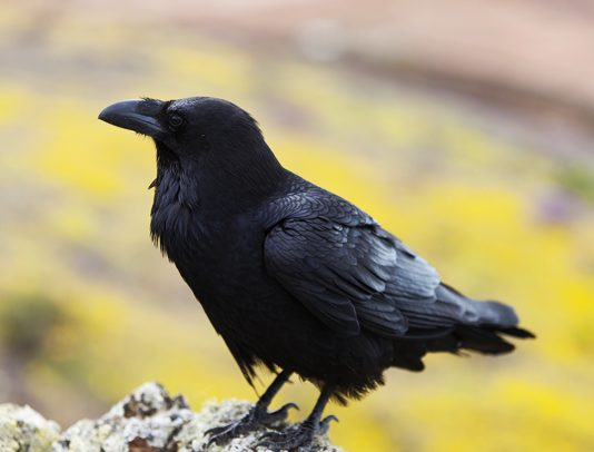facts about crow in hindi