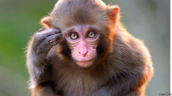 बंदर के बारे में जानकारी facts about monkey in hindi