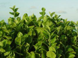 पौधों में श्वसन respiration in plants in hindi