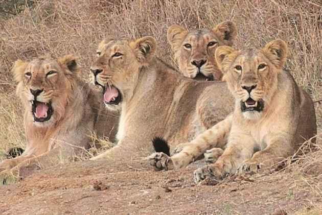 gujarat lion